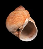 Lewis's moon snail shell