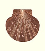Euvola laurentii scallop shell