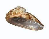 Whirling abalone shell
