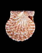 Kelp scallop shell