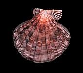 Lyropecten nodosus scallop shell