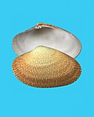 Textile venus clam shell