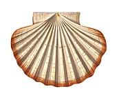 Mediterranean scallop shell