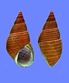 True kelp sea snail shell
