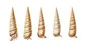 Creeper sea snail shells