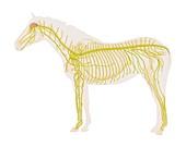 Equine nervous system,illustration