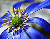 Anemone flower head