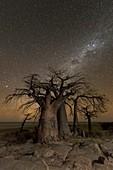 Milky way over Baobab trees