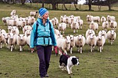 Woman and dog in field of sheep