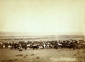 Cattle round-up,late 19th century
