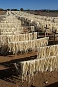 Sisal fibers drying in sun,Madagascar