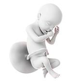 Human fetus age 30 weeks