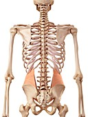Human abdominal