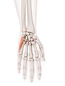 Human hand muscle