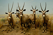 Gemsbok museum display