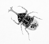 Large Beetle X-ray