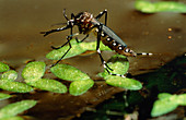 Yellow fever mosquito,Aedes aegypti