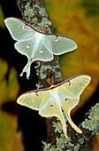 Luna moths