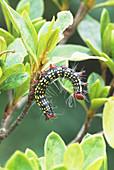 Azalea Caterpillar in defensive posture