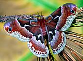 Female Promethea Moth