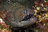 Mosaic Moray Eel