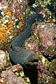 Fine-spotted Moray Eel