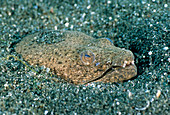 Spotted Spoon-Nose Eel