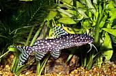 African Polk-a-Dot Catfish