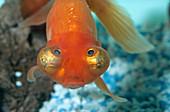 Globe-eyed goldfish