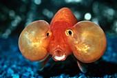Bubble-eyed goldfish