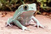 Chacoan Waxy Monkey Frog