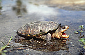 Narrow-Bridged Musk Turtle
