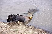 Nile crocodile attacks wildebeest