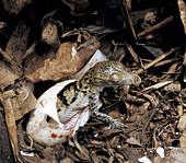 Newborn Morelet's Crocodile