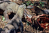 Komodo Dragon eating Timor Deer