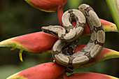 Red-tailed Boa (Boa constrictor constrictor)