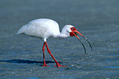 White Ibis Eating Crab