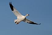 Snow Goose (white)
