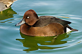 Ferruginous Pochard