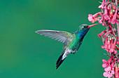 Male Broadbill Hummingbird hovering
