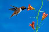 Rufous Hummingbird at Tiger Lily
