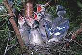 Baby Blue Jays in nest