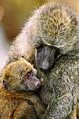 Anubis baboon mother and young