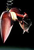 Bat pollinating banana flower
