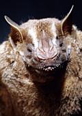 San Jose Fruit-eating Bat