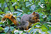 Fox Squirrel (Sciurus niger) in a Tree