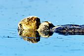Sea Otter sleeping