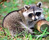 Adult Raccoon