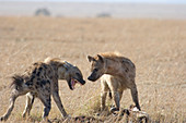 Spotted Hyenas at wildebeest kill