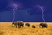 Lightning Above a Herd of African Elephants